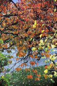 ShidareZakura_Autumn